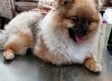 كلب بومرينيان for sale pure pomeranian