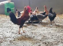 دجاج بلدي حجم ولون وسعر مميز