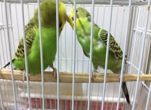 Budgies Breeding 3 Pair Healthy and Active