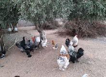 دجاج بارهمه