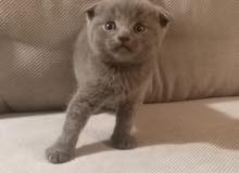 Scottish Fold Blue Kitten - Male (Pure)
