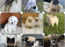 PURE BREED PUPPIES FOR SALE