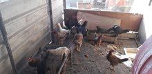 للبيع دجاج  عرب و دجاج هراتي