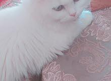 قطة شرازي للبيع عمرها 8 اشهر