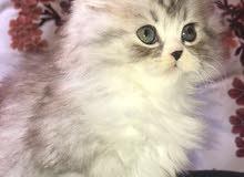 قطط شانشيلا بيور البيع