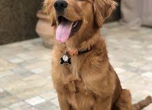 كلب قولدن ريتريڤر بيور للبيع