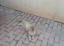 قطة من اصل ايراني