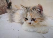 قطة شيرازي مستعجل