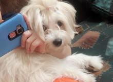 كلب أنثي مالتيزر