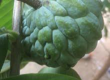 شتول قشطة وبابايا وفاكهة التنين وأشجار زينة وبرتقال