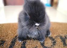 Netherland dwarf rabbit from Holland