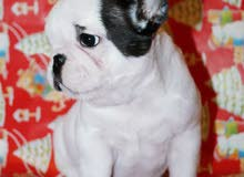 Imported French Bulldog Puppy Available for Sale