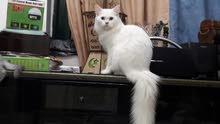 قط تركي اصلي نادر لذيذ وطيوب وهادي جدا