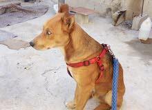 كلب هاسكي 6 اشهر