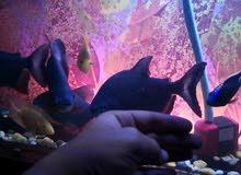 سمك بيرانا عدد 5 حجم كبير