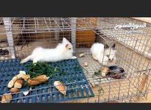 عندي  ارنب قزوم كوبيا 0925259976