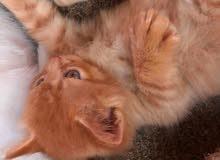 قطوس فارسي