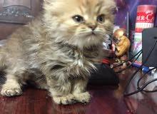 قطه شرازى bigface عمرها شهرين ونصف بيور مطعمه