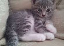 chat bebe gris