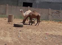 جمال عمارهن 5 سنين ونص