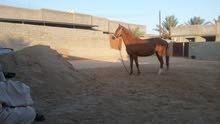 حصان أنثي للبيع ( حارث قريب اتجيب )