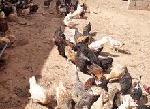 دجاج عربي 180  دجاجه و  20 فروج للبيع
