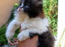 قطوسه فارسية