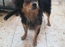 كلب شيواوا بيور للبيع بداعي السفر
