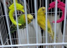 اثنين طيور الحب  مع كرتون حبوب