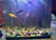 حوض سمك مع 5 سمكات زينة وكناس