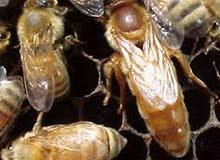 تعلن شركة عسل الشفاء ابنا الرطب عن قرب موعد وصول ملكات النحل سلالات مختلفة ايطاليه واسترالية