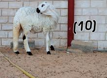 مزرعة هجين ليبيا عرض جديد حوليات هجين لبيع