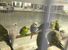 طيور حب ( بادجي ) ( إسترالي ) للبيع