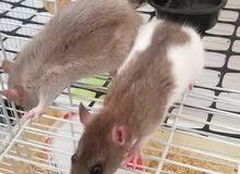 Pet Rat available
