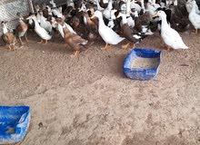 Local Ducks.