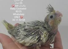 Baby cockatiel فرخ كوكتيل
