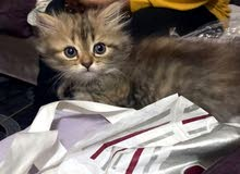 قطه شيراز صغيره شهرين واسبوع