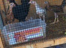 للبيع دجاجه بلدي مع فراخها