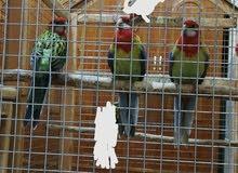 طيور روزلا