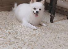 كلب بو مرينيان مني بو