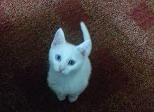 قطة هملايا كل عين لون