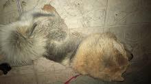 كلب chow chow