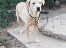 chien labrador 8moi