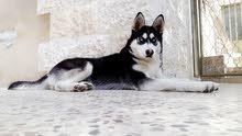 كلب هسكي بيور للبيع لعدم التفرغ
