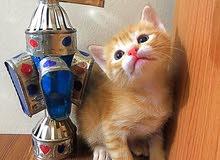 cute turkish angora kitten 2 month girl