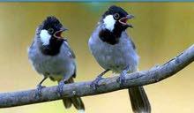 طيور بلبل