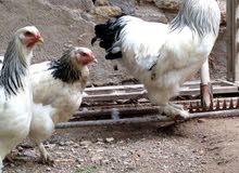 بيض دجاج براهما ملقح للبيع