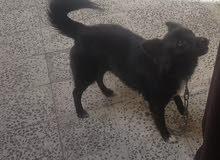 كلبة المانيه