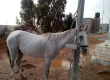 فرس عمرها 9سنين نوعها بنت امير النصر امعشره بحصان اسود نوعه بحر