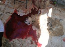 لحامين لذبح المواشي على استعداد للذبح للجمعيات و الافراح و العزاء